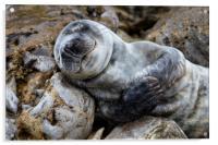 Baby Seal, Acrylic Print