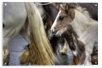 Foal at the Appleby Fair, Acrylic Print