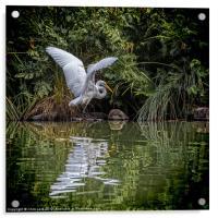 Egret Hunting, Acrylic Print