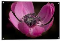 Anenome harmony orchid, Acrylic Print