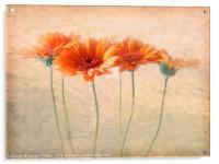 Orange Gerberas, Acrylic Print