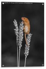 Harvest mouse., Acrylic Print