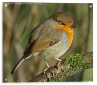 Robin redbreast., Acrylic Print
