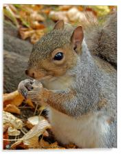 Grey squirrel., Acrylic Print