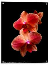 Pink  Orchids on black background, Acrylic Print