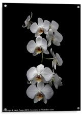 White Dendrobium Orchid Canvas & prints, Acrylic Print