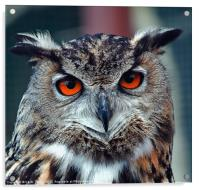 Eurasian Eagle Owl Canvases and Prints, Acrylic Print