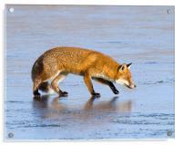 Fox on ice, Acrylic Print