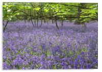Bluebells of Serlby, Acrylic Print