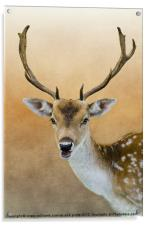 Fallow Deer Stag, Acrylic Print