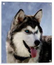 Siberian Husky, Acrylic Print