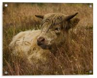 Camouflaged Cow, Acrylic Print