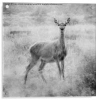 Red Deer, Acrylic Print