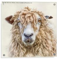 Leicester Longwool Sheep, Acrylic Print