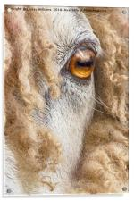 Leicester Longwool Sheep 2, Acrylic Print