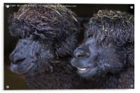 Alpacas , Acrylic Print