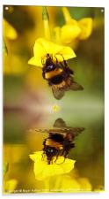 Bee on a Jasmine, Acrylic Print