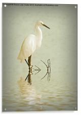 Little Egret, Acrylic Print