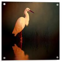Midnight Egret, Acrylic Print