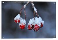 Snowy Rosehip, Acrylic Print