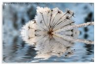 Frosted Cow Parsley, Acrylic Print