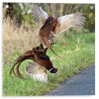 Cock pheasants fighting, Acrylic Print