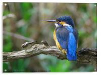 Female Kingfisher on perch, Acrylic Print