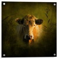 Young Bull, Acrylic Print