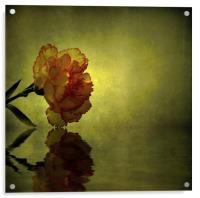 Carnation, Acrylic Print