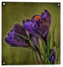 Canvas of Purple Crocus, Acrylic Print