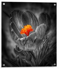 Crocus., Acrylic Print