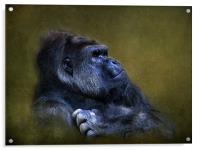 Silverback Gorilla, Acrylic Print