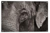 Asian Elephant Close Up, Acrylic Print