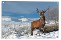Deer Stag, Glencoe, Acrylic Print