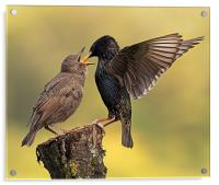 Starlings, Acrylic Print