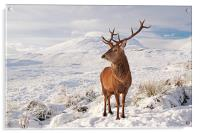 Deer Stag in the snow, Acrylic Print