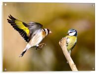 Goldfinch and Bluetit, Acrylic Print