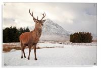 Deer Stag, Acrylic Print