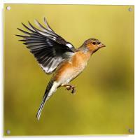 Chaffinch in flight, Acrylic Print