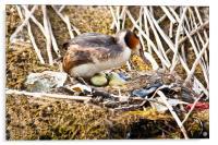 Nesting Crested Grebe, Acrylic Print