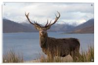 Royal Red Deer Stag in Winter, Acrylic Print