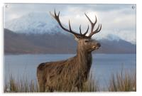 Red Deer Stag in Winter, Acrylic Print