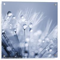 Dandelion Seed with Water Droplets in Blue, Acrylic Print