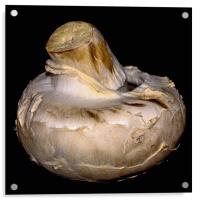 Agaricus bisporus, Acrylic Print