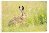 Hare comes Summer, Acrylic Print
