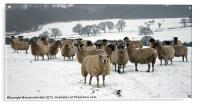 Ewe it's cold out here, Acrylic Print