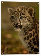 Snow Leopard Cub, Acrylic Print