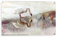 Swan Reflection, Acrylic Print