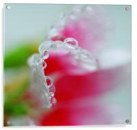 Abstract of raindrops on a Petunia flower leaf , Acrylic Print