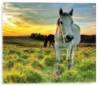Pony Sunrise, Acrylic Print